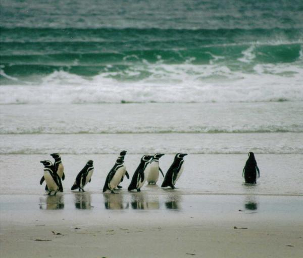 Magellanic penguins scuttle along the beach during a Falkland Islands tour