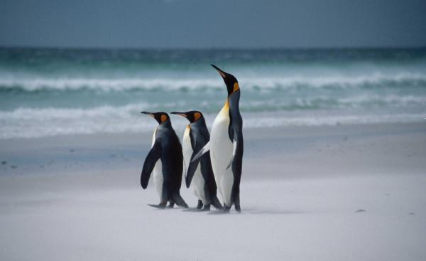 Watch King penguins strut across the sand at Volunteer Point during your Falkland Islands tour