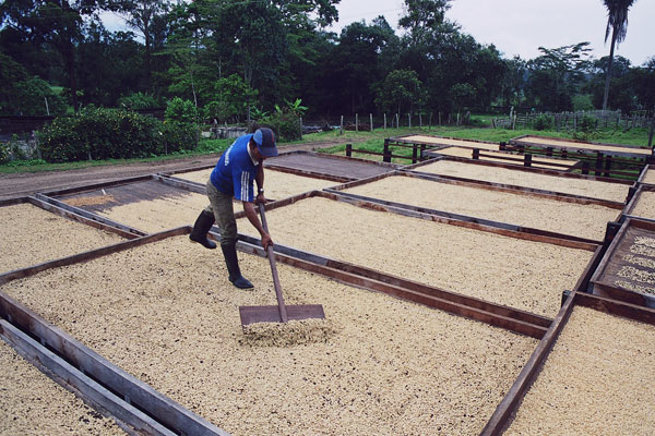 Hacienda El Roble coffee tour