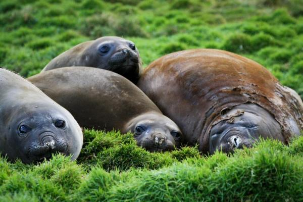 Elephant Seals in Grytviken