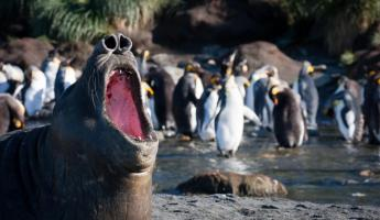 Elephant Seals and King Penguins in Gold Harbour