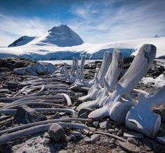 Whale carcass, Port Lockroy