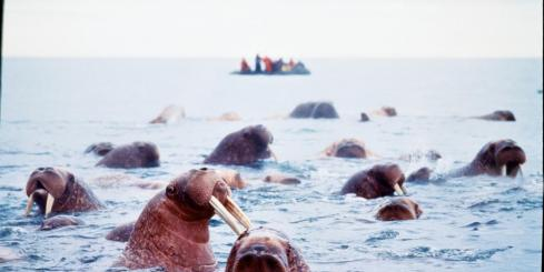 Walruses relaxing in the water