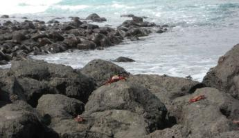 red crabs on San Cristobal