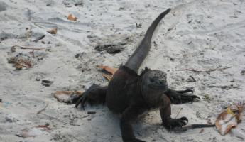 icon for Galapagos, the marine iguana-you can't make this up