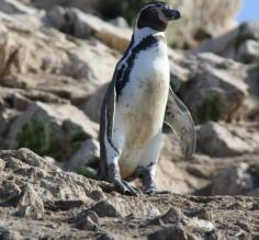 Humboldt penguin on Lslas Ballestras