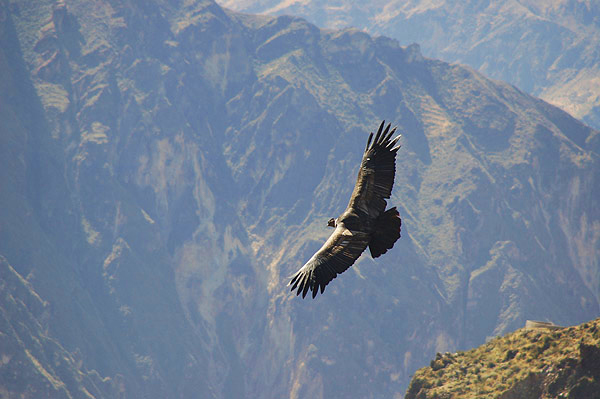 Andean condor in flight in Colca Canyon during a Peru trip