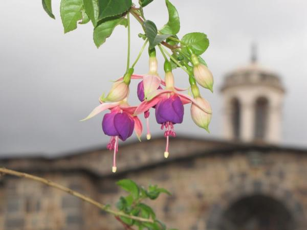 Beautiful flowers in Cusco