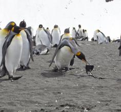 King penguins examine a camera