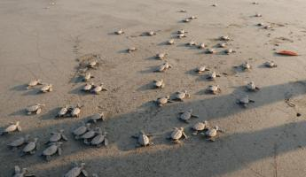 Hawksbill hatchlings make their way to the ocean