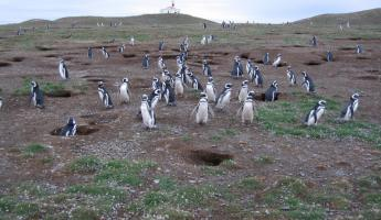 Penguins at Magdalena Island
