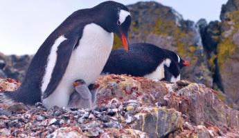 Gentoo Penguins on Ardley Island