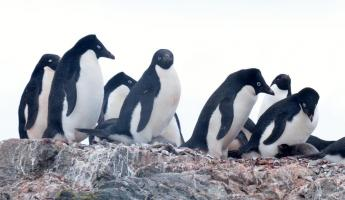 Adelie Penguins on Ardley Island
