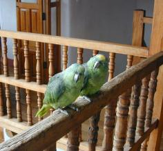 Parrots on the railing