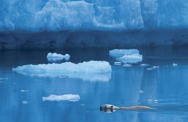 A polar bear swims in the Arctic