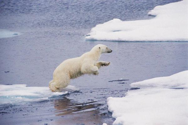 A polar bear leaps across ice floes