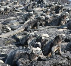 A mess of marine iguanas in the Galapagos