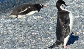 Gentoo and Chinstrap penguins on Half Moon Island