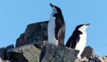 Chinstrap Penguins on Half Moon Island
