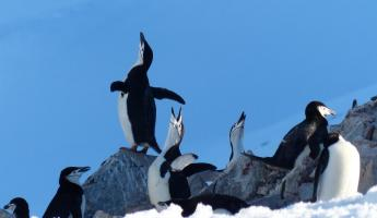 "Chinstrap Penguins ""singing"" on Half Moon Island"