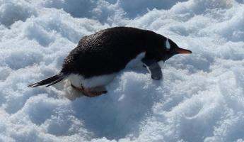 Gentoo penguin getting ready to eat snow