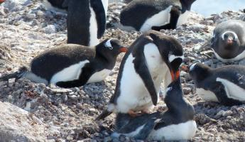 Gentoo penguins mating at Neko Harbour