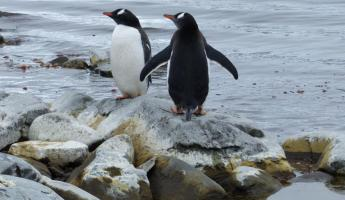 Gentoo Penguins at Danco Island