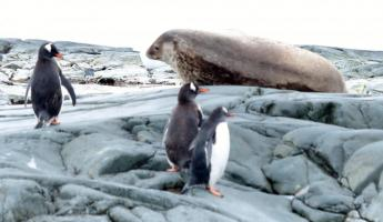 Gentoo Penguins and Weddell seal near Danco Island