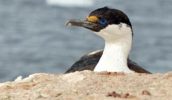 Blue eyed shag