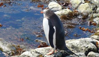 Gentoo Penguin at Mikkelsen Harbour
