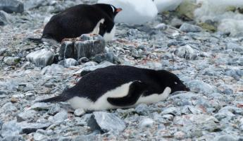 Gentoo and Adelie penguin on Ardley Island