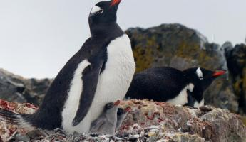 Gentoo penguin chicks on Ardley Island