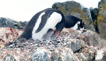 Feeding Gentoo penguin chicks on Ardley Island