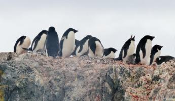 Adelie penguins with chicks o Ardley Island
