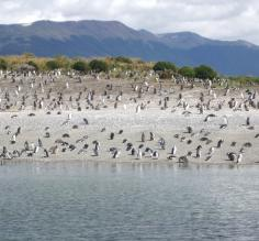 Pengin colony outside of Ushuaia