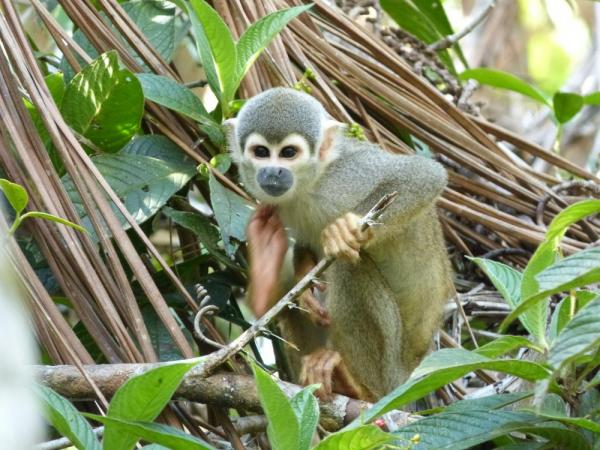 A young monkey in the Amazon