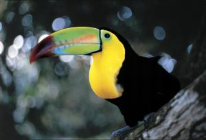 Toucan relaxing in the tree