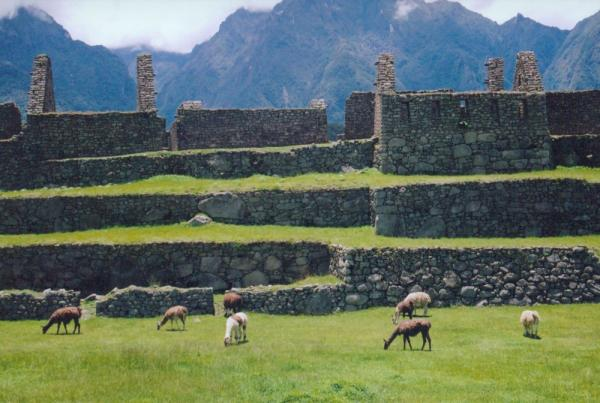Grazing at Machu Picchu