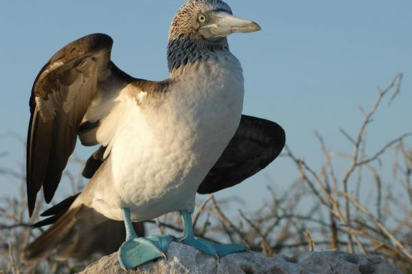 Up close to the Blue Footed Boobie