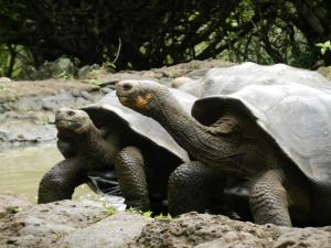 Giant Tortoises in Galapagos