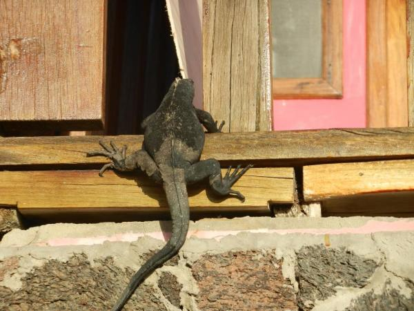Iguana hanging out the bar window