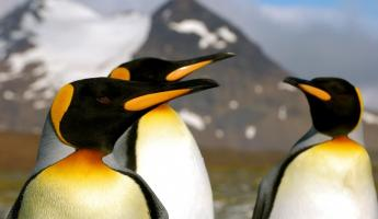 A group of King penguins.