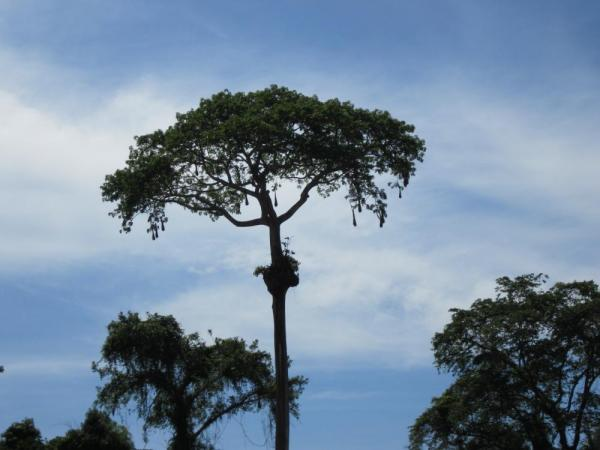 Neat tree in Manu National Park