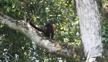 Howler monkey in Manu