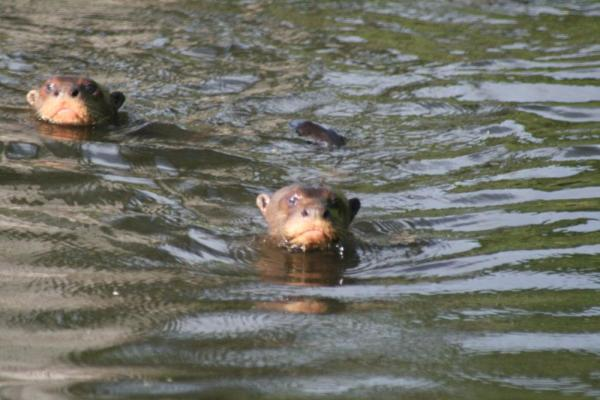 We saw a whole family of giant river otters in Manu