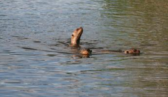 Giant river otters in Manu!