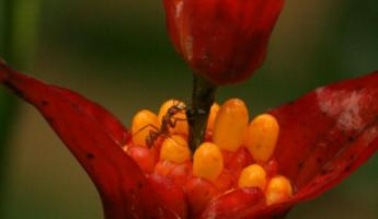 Tiny ant on a beautiful flower at Manu Wildlife Center