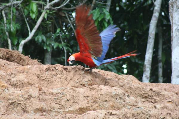 Macaw clay lick at Manu Wildlife Center