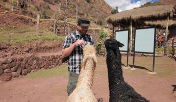 Feeding llamas at the weaving center