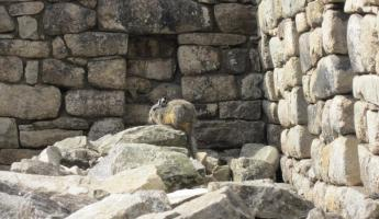 Relative of the chinchilla at Machu Picchu